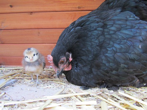 Mama Midnight and baby araucana by stephk