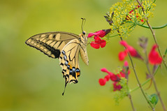 Papilio machaon (myu-myu) Tags: nature japan butterfly insect nikon swallowtail  papiliomachaon    d300s salviagreggi  aiafsnikkor300mmf4difed fennel