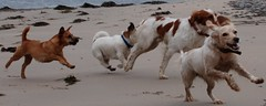 Dogs came too (Sibad) Tags: beach dogs scotland oscar cookie lulu malo fortgeorge invernessshire ardesier