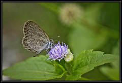 Sucker (TeohEH) Tags: flower macro green nature canon butterfly garden 50mm close cloudy malaysia petaling jaya dcr250 raynox 550d
