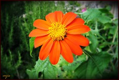 Tithonia rotundifolia (vojis) Tags: plant flower garden vrt torch tithonia mexicansunflower rotundifolia cvet