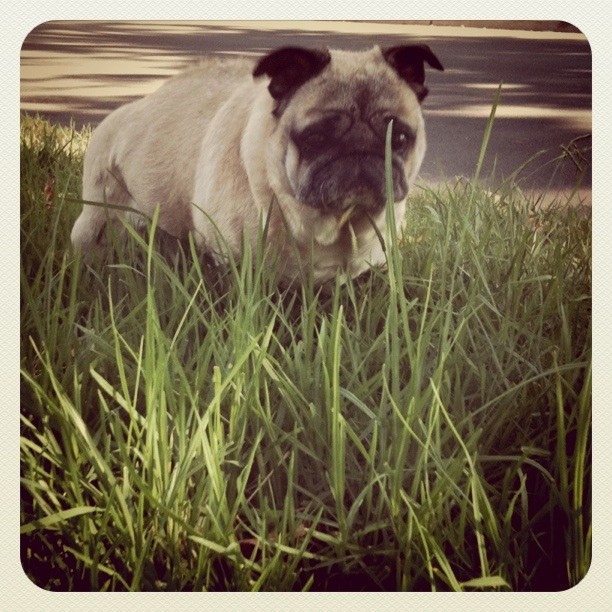 Walking in the tall grasses. #pug