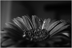 Indoors (majestiele) Tags: flowers blackandwhite bw water monochrome droplets drop drip daisy bandw