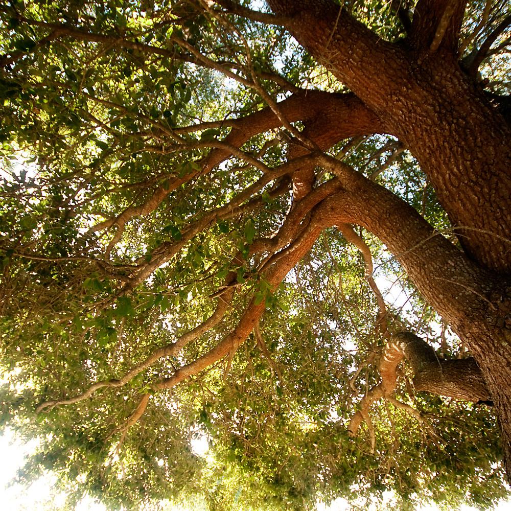 Square 1/31:  Live Oak