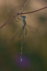 Lestes virens (ROQUE141) Tags: natureselegantshots oltusfotos