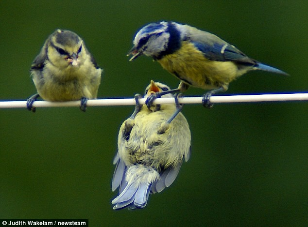 Mum watches in amazement as bird on a wire gets in a spin on the washing line  3