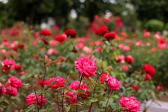 IMG_9058 (Alicia J. Rose) Tags: rose j stunning portlandoregon rosegarden summerday fullbloom peninsulapark gardenamerican flowerstopiary beautydigital magicportland oregonjuneuaryalicia
