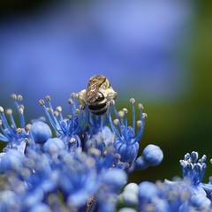 Hydrangeas with a bee (shagzi23) Tags: japan gf1 g20mmf17   hinumanaturepark