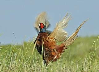 Common Pheasant showing off