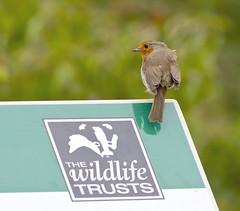Robin (Erithacus rubecula), Brandon Marsh, Warwickshire 05Jul11 (Lathers) Tags: robin erithacusrubecula brandon warwickshire nbw canonef300mmf4lisusm canon7d wildinthemidlands wkwt 05jul11