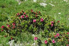 DSC_8366 (Valerio Pillar) Tags: france belledonne rhododendronsp alpinegrassland combedemadame