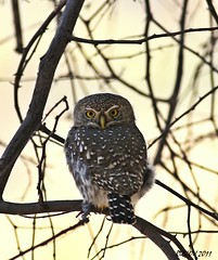 Pearl-spotted Owlet (Glaucidium perlatum) (ruslou (on & off)) Tags: nature southafrica explore warmbaths glaucidiumperlatum pearlspottedowlet ruslou belabela zwartkloofprivategamereserve witkoluil