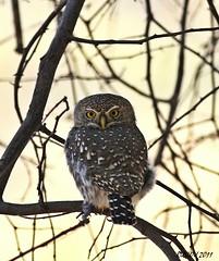 Pearl-spotted Owlet (Glaucidium perlatum) (ruslou (More off than on)) Tags: nature southafrica explore warmbaths glaucidiumperlatum pearlspottedowlet ruslou belabela zwartkloofprivategamereserve witkoluil