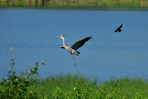 Heron and Blackbird DSC_1077