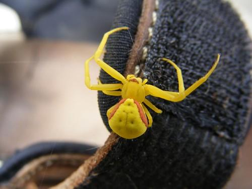 Goldenrod spider