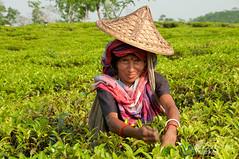 Picking Tea - Srimongal, Bangladesh (uncorneredmarket) Tags: people tea bangladesh teagardens teaestates manuallabor srimongal teaplantations ruralbangladesh teapickers sylhetdivision sreemangal