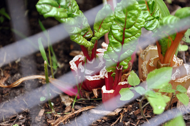 growing garden 2 months swiss chard 2
