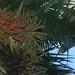 Nikau, a palmeira que cresce mais ao sul