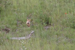 Coyote Pup Running Away (Dan Stanyer (Northern Pixel)) Tags: coyote baby canada nature animal bc wildlife columbia british pup northern