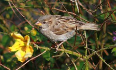 Sun dappled Sparrow (aaron_eos_photography) Tags: summer bird nature birds garden inflight wildlife goldfinch july birdsinflight greattit gardenbirds gardenwildlife nygerseed wednesdayteatime