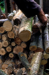 Spindle13 - Paul Morton making charcoal (Francoise Sergy) Tags: plants tree european logs sycamore charcoal hazel limestone shrub deciduous poisonous dicot hedgerows spindletree emetic euonymuseuropaeus celastraceae celastrales