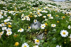 Northern Fulmar chick (Fulmarus glacialis) (Earth In Focus) Tags: uk flowers bird birds daisies nest wildlife chick fulmar seabirds northatlantic northernfulmar fulmarusglacialis sulasgeir
