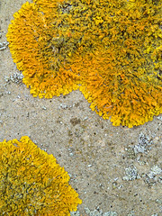 The Isles of Lichen (Steve Taylor (Photography)) Tags: uk england yellow islands kent britain amarillo gb lichen isle ramsgate thanet isleof