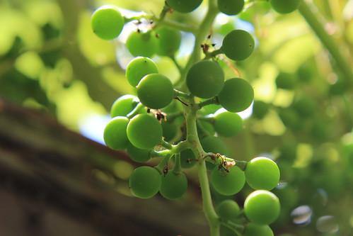 Grape Futures 4