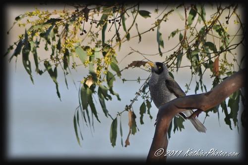Noisy Miner in tree