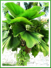 Licuala grandis (Vanuatu Fan Palm, Ruffled Fan Palm, Palas Payung) - a matured palm/tree, seen in our neighbourhood
