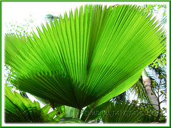 Licuala grandis (Vanuatu/Ruffled Fan Palm, Palas Payung): the underside view of its fan-shaped and pleated leaf