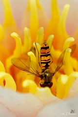 Schwebfliege  / hoverfly (2) (Ellenore56) Tags: light sun inspiration flower color colour detail macro nature animal fauna bug insect licht photo flora focus foto waterlily lily emotion blossom magic sunday natur dive wing perspective environmental bloom vista environment imagination outlook moment creature makro blte magical sonne farbe insekt sonntag swoop nymphaea tier hoverfly perspektive ecological syrphidae umwelt augenblick fokus seerose florescence flgel schwebfliege nosedive faszination flowerfly sturzflug syrphidfly hainschwebfliege florae floras lebewesen tierwelt a350 pflanzenwelt sonydslra350 ellenore56 17072011 flgelrippen