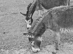 Ee! Aw! (joe_relic37) Tags: horse white black animals lumix zoo donkey panasonic filter g1 petting mule density neutral