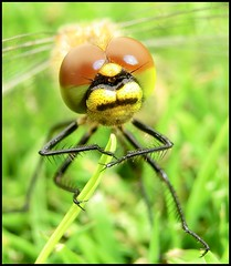 The Dragonfly... (Minkn) Tags: world red color macro green nature beautiful yellow norway bug golf insect walking spectacular norge fly big nice colours close view dragonfly sweden bokeh earth walk wildlife great natur bugs course casio stunning gras sverige thin insekt exilim gul the grnn naturesfinest 2011 sunne varmland scenicsnotjustlandscapes minkn exzr100 exfz100