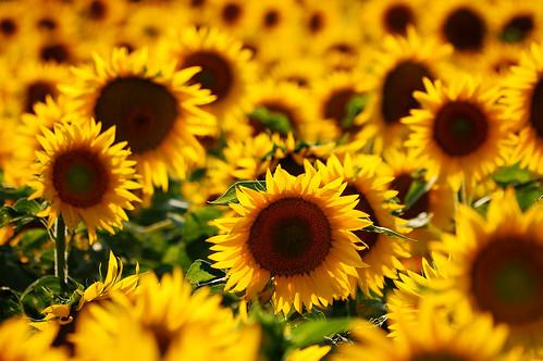 フリー写真素材, 花・植物, 向日葵・ヒマワリ, 花畑, 黄色の花,