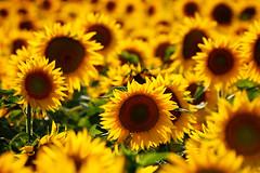 [フリー画像] 花・植物, 向日葵・ヒマワリ, 花畑, 黄色の花, 201107230500
