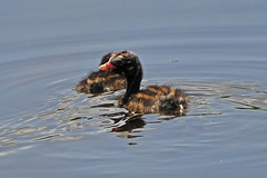 Little Grebe chicks (© Freddie) Tags: littlegrebe rspb rainham marshes essex grebe bird chick nikon d300s fjroll fjrollcom ©freddie