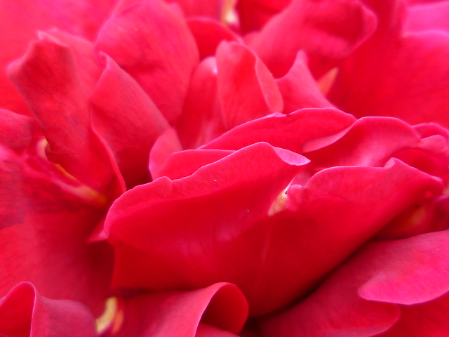 rose pinkred