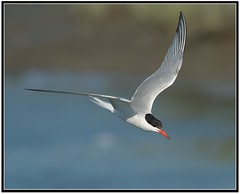 Common Tern in Flight (Mark Schwall) Tags: newjersey flight brigantine tern commontern forsythenwr avianexcellence oceanville birdperfect