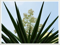 Yucca aloifolia (Spanish Bayonet, Dagger Plant) with pendulous white flowers at Cheras Business Centre, KL - July 4 2011