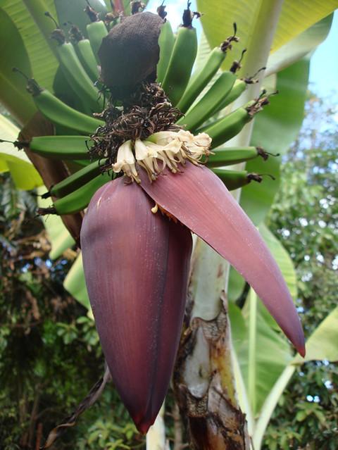 banana flower 4