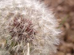 Make A Wish (Aerykah) Tags: white plant flower macro oklahoma nature bokeh dandelion seeds makeawish 2011