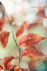 Men are like trees: each one must put forth the leaf that is created in him (Henry Ward Beecher) (dhmig) Tags: autumn red tree nature leaves backlight 50mm leaf nikon dof bokeh outdoor details naturallight warmcolors fragility nikond7000 dhmig dhmigphotography