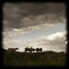 Le troupeau du Pont du Sart (nathaliehupin) Tags: photoshoot mouton photographebruxelles nathaliehupin photographeluxembourg juillet2011 photographehainaut photographenamur photographeliege photographemons photographebelgique wwwnathaliehupinbe wwwnathaliehupingraphismebe