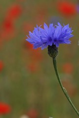 Cornflower (raggi di sole) Tags: flowers england plants kewgardens colour nature poppies wildflowers cornflowers