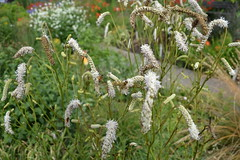 SANGUISORBA 'All Time High'