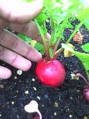 Jordan's radishes planted in late May
