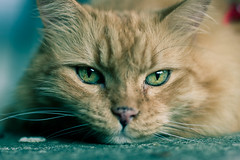 Resting on the porch (Kilkennycat) Tags: orange green cat canon fur nose ginger eyes furry tabby kitty 50mm14 whiskers meow 500d t1i