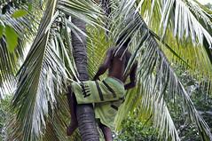 Up the tree 2 (Roving I) Tags: tourism islands demonstration barefeet newcaledonia treeclimbing noumea amedee coconutpalms barechests