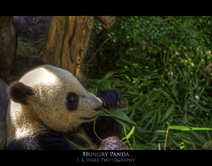Hungry Panda (J.S. Wolf Photography) Tags: california color animal animals photoshop zoo nikon panda sandiego hdr photomatix tonemapped cs5 d7000 ringexcellence